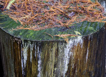 棕色松树树叶子关闭  库存照片