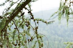 棕色松树锥体在森林,云杉,美好的背景里分支 免版税库存照片
