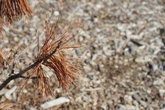 棕色松树 库存图片