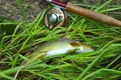 棕色标尺鳟鱼 免版税库存图片