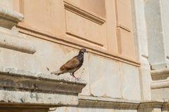 棕色栖息处鸽子在一个老大厦的檐口的 免版税库存图片