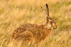 棕色棉尾巴兔子 图库摄影