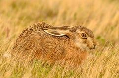 棕色棉尾巴兔子 库存图片
