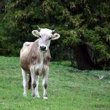 棕色母牛年轻人 图库摄影