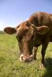 棕色母牛现在怎么样 免版税图库摄影