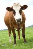 棕色母牛白色 免版税库存照片