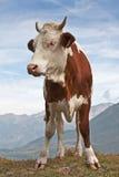 棕色母牛红色 免版税库存照片
