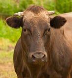 棕色母牛荷兰语垫铁纵向 库存图片