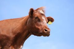 棕色母牛题头射击 免版税库存照片