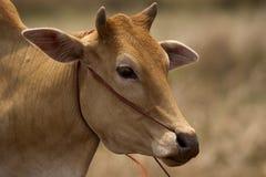 棕色母牛 免版税库存照片