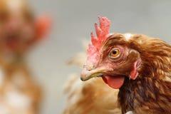 棕色母鸡纵向 免版税库存照片