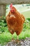棕色母鸡 免版税库存照片