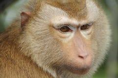 棕色毛发的猴子罗猴 库存图片