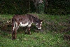棕色毛发驴吃草自由在草地 库存照片