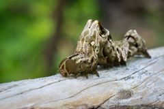棕色毛虫的图象在棕色干燥木材的 昆虫 敌意 库存图片