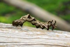 棕色毛虫的图象在棕色干燥木材的 昆虫 敌意 库存照片
