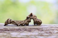 棕色毛虫的图象在棕色干燥木材的 昆虫 敌意 免版税库存照片