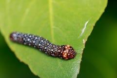 棕色毛虫的图象在绿色叶子的 昆虫 敌意 免版税库存图片