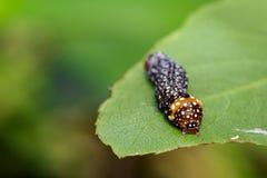 棕色毛虫的图象在绿色叶子的 昆虫 敌意 库存照片