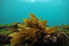 棕色海带小叶状体  免版税库存图片