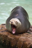 棕色海狗 免版税图库摄影