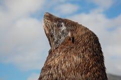 棕色海狗 免版税库存图片