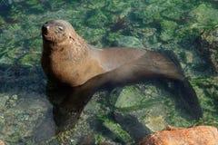 棕色海狗 图库摄影