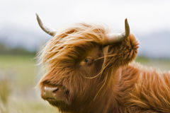 棕色牛高地年轻人 图库摄影