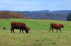 棕色牛 免版税库存照片