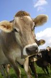 棕色牛 免版税图库摄影