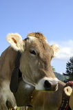 棕色牛 库存照片