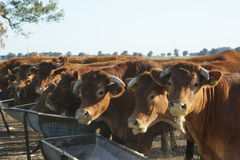 棕色牛 免版税库存图片