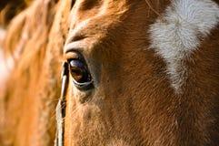 棕色特写镜头马 免版税库存照片