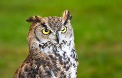 棕色特写镜头猫头鹰 免版税库存图片