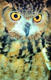 棕色特写镜头猫头鹰 免版税库存照片