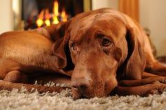 棕色狗火前面安排 免版税库存照片