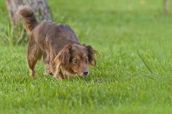 棕色狗纵向 库存图片