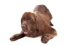 棕色狗纽芬兰 免版税库存图片