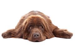 棕色狗纽芬兰 库存照片