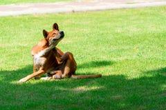 棕色狗,自然狗姿势画象在绿色领域的 库存照片