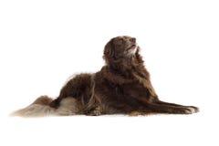 棕色狗 免版税图库摄影