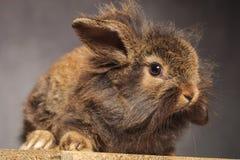 棕色狮子头兔子兔宝宝开会的侧视图 图库摄影