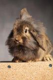 棕色狮子头兔子兔宝宝开会的画象 免版税图库摄影