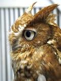 棕色猫头鹰配置文件端 免版税库存照片