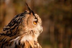 棕色猫头鹰配置文件 免版税库存图片