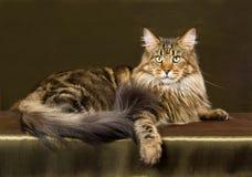 棕色猫浣熊缅因平纹 库存照片