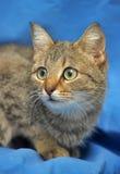棕色猫重点例证爱 免版税图库摄影