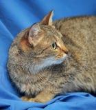 棕色猫重点例证爱 免版税库存照片