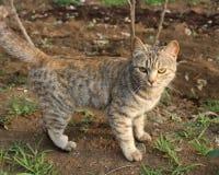 棕色猫重点例证爱 免版税库存图片