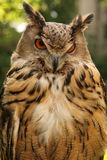 棕色猫头鹰 图库摄影